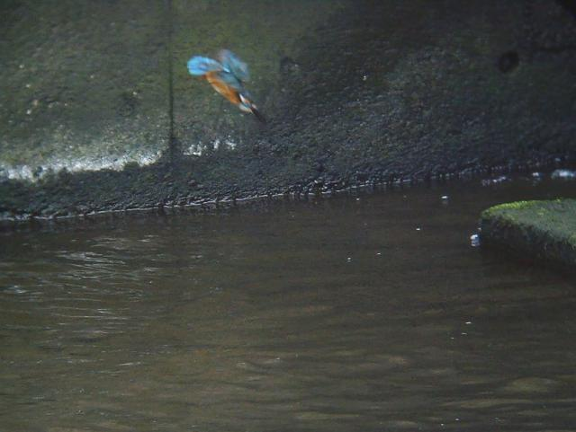 カワセミのダイビング1